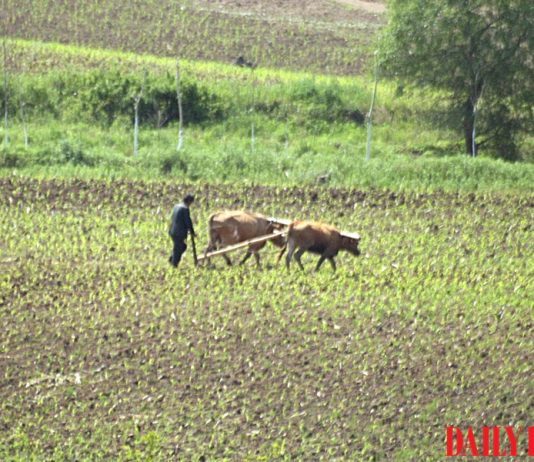 A farmer in North Hamgyong Province, North Korea uses oxen to work the land. tobacco