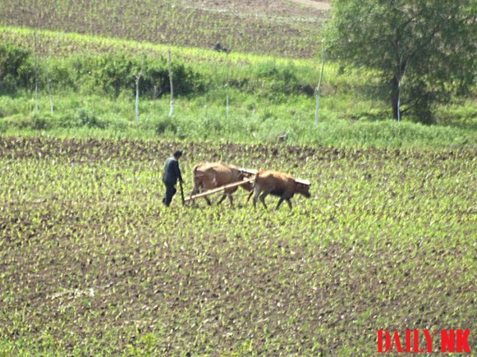 A farmer in North Hamgyong Province, North Korea uses oxen to work the land.