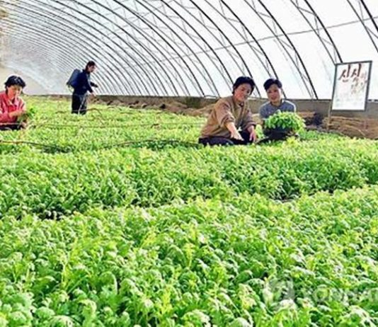 agricultural greenhouse cabbage