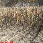 Scene from last year's corn harvest in North Korea
