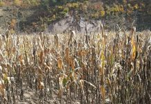 Scene from last year's corn harvest in North Korea