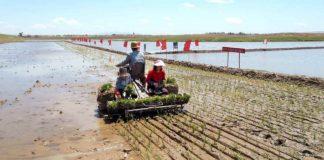 Rice planting in North Korea