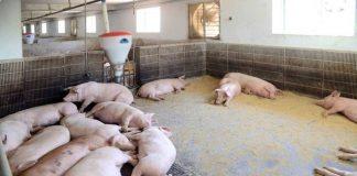 Taedonggang Pig Farm