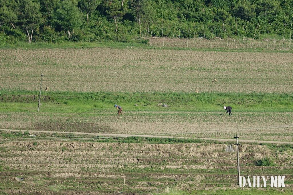 North Koreans farming in North Hamgyong Province in early June 2019