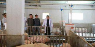 Kim Jong Un Pig Farm