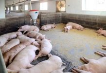 Taedong pigs african swine fever