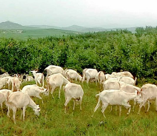 Goats in North Korea