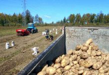Potato farming field