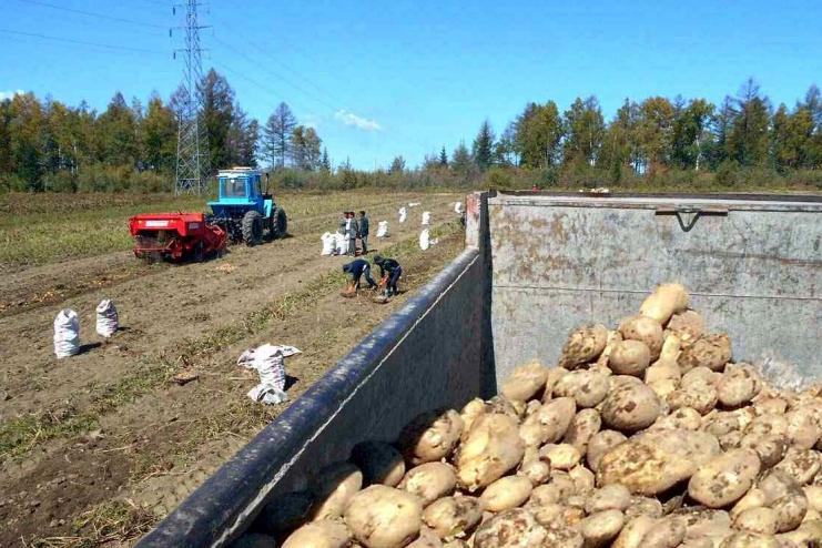 Potato farming field