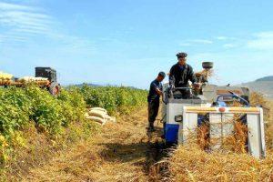 Farmer harvest Sariwon
