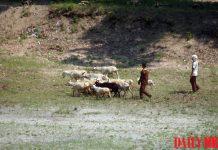 african swine fever livestock