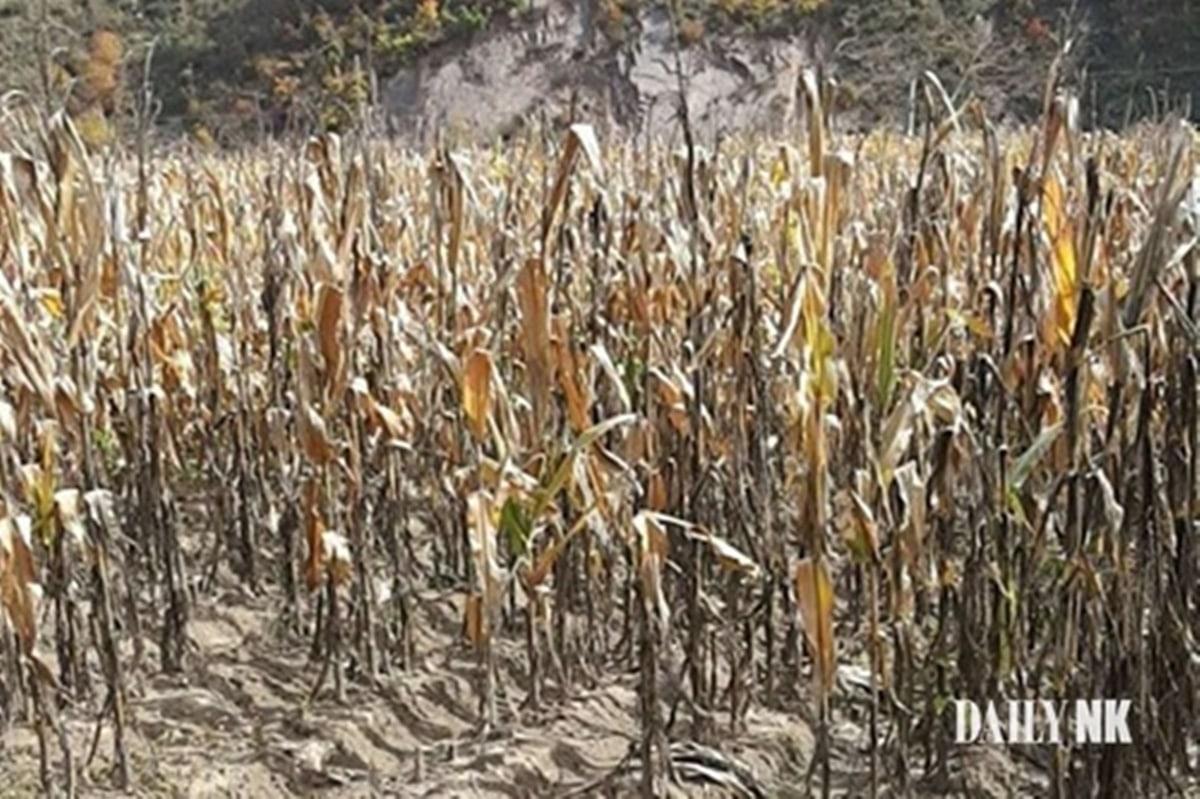 North Korea drought damage