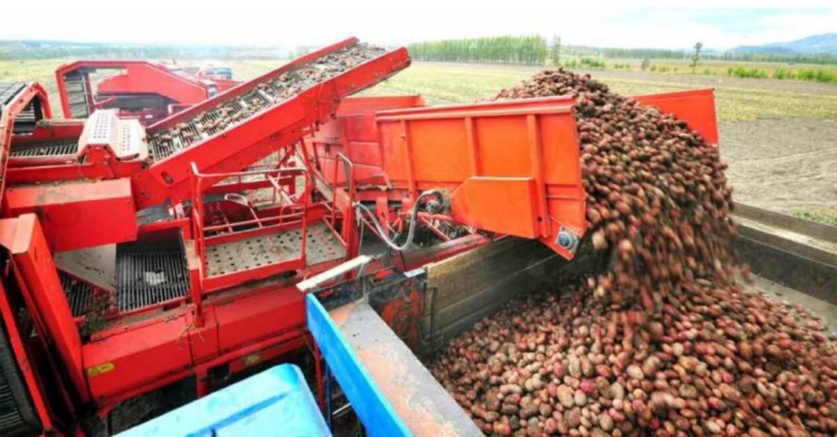 대홍단 감자
